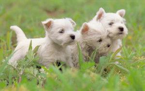 Как выбрать щенка вестика
